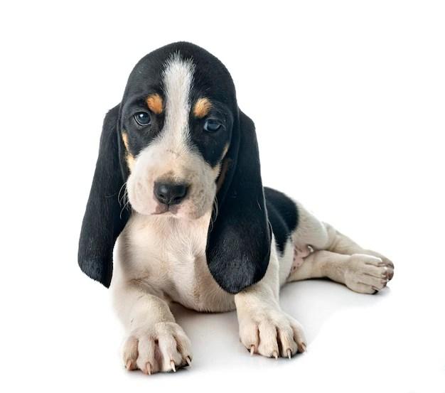 Cachorro bernese schweizer laufhund cães de caça