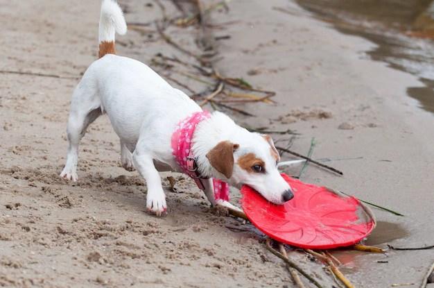 Cachorro brincando com frisbee na areia