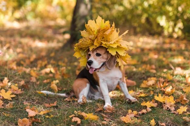Beagle com tiara de folhas