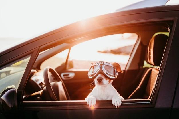 Cachorro com óculos em passeio de carro no por do Sol