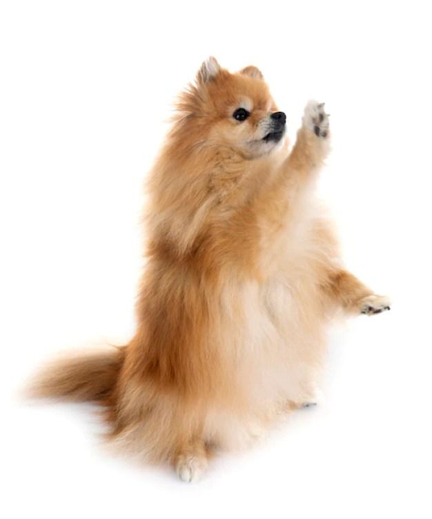 Lulu da Pomerânia com pata frontal levantada em fundo branco cães de caça