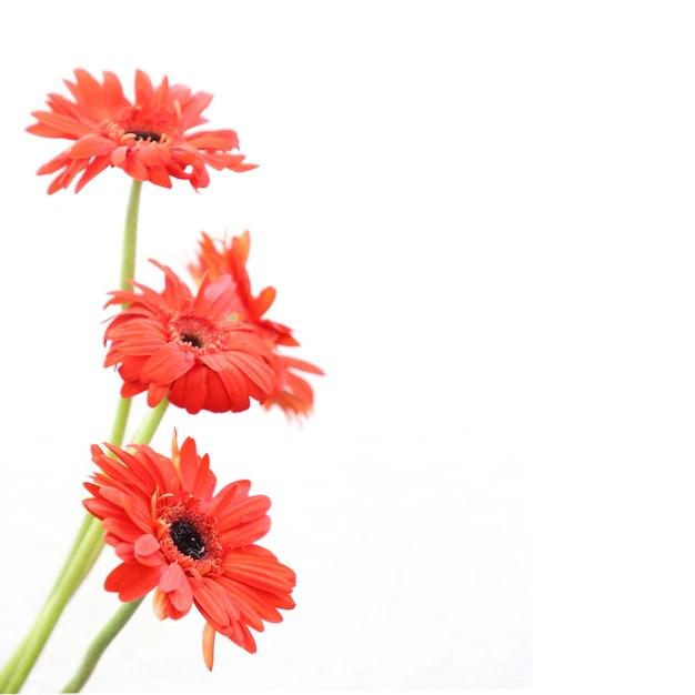 Rote Blumen auf weiem Hintergrund fr Jahrestag