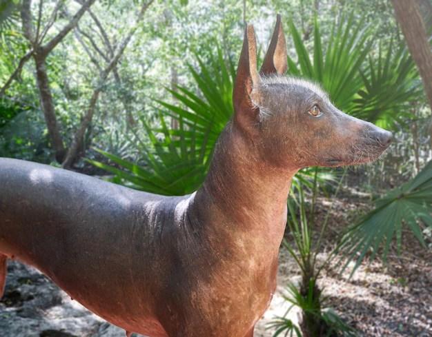Xoloitzcuintli marrom em jardim cães estranhos