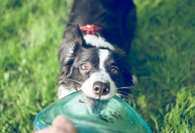 Border collie dog with flying disc toy Premium Photo