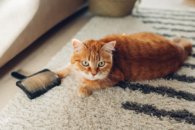 Cat lying on carpet playing with brush Premium Photo