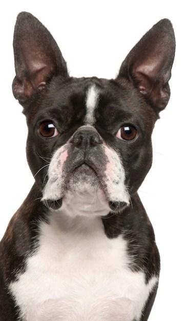 Boston terrier preto com branco em fundo branco