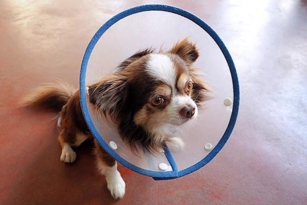 Dog chihuahua Premium Photo