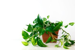 Golden pothos or epipremnum aureum on white table in the living room home  and garden | Free Photo