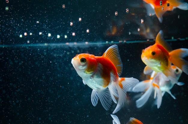 Goldfish eating food nature beautiful fish Photo | Premium ...
