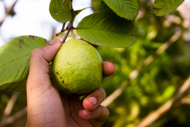 Hand Picking Guava Fruit From A Tree Photo