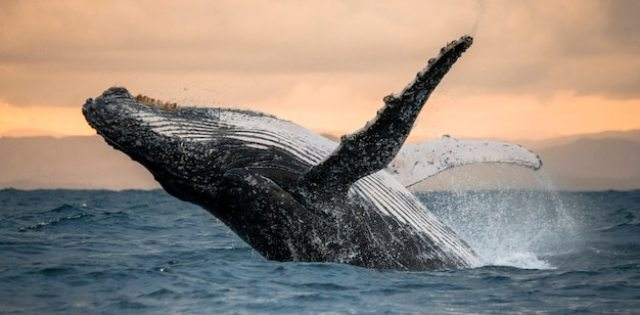Humpback whale jumps out of the water. beautiful jump. . madagascar. st. mary's island Premium Photo