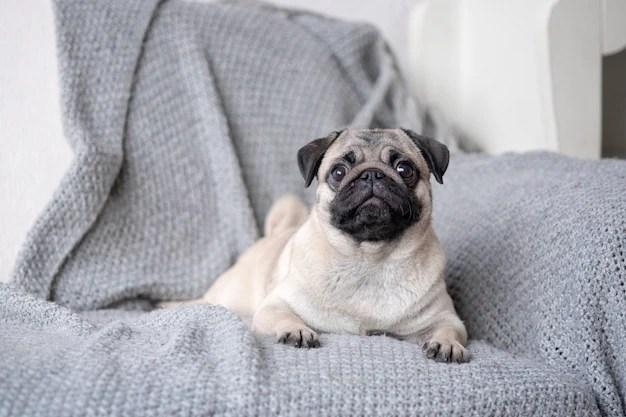Filhote de Pug deitado em sofá menores raças de cachorros