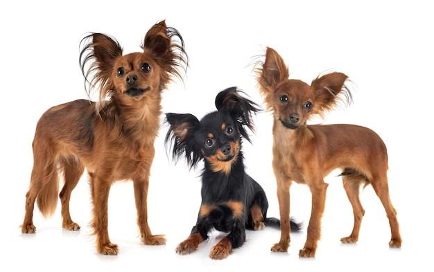 3 cães Russian toy terrier em fundo branco menores raças de cachorros