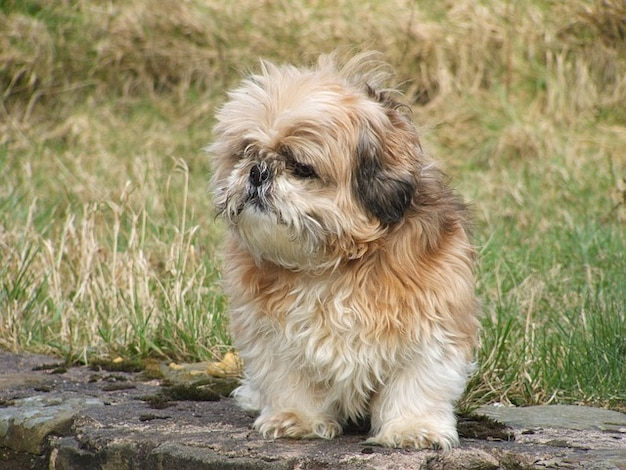 Shih tzu em terreno gramado menores raças de cachorros