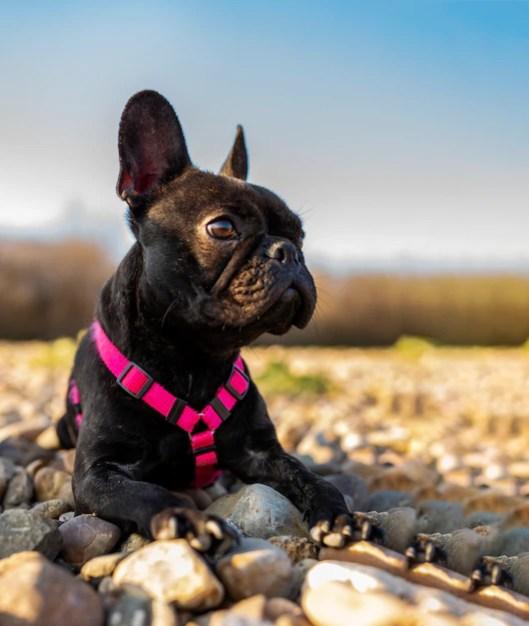 Bulldog francês preto deitado em parque menores raças de cachorros