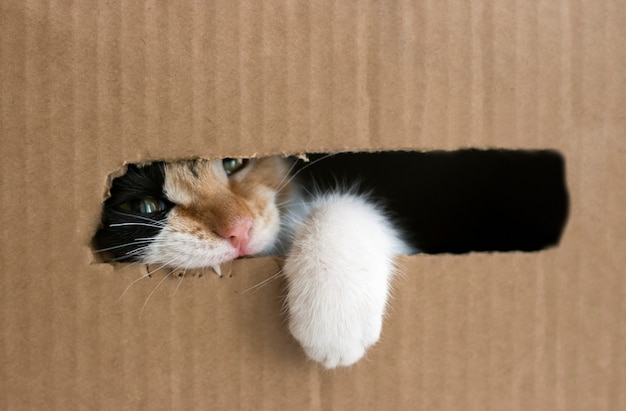 A three-colored kitten gnaws a cardboard box. kitty put his paw out of the box. isolated Premium Photo