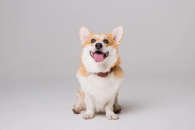 Cachorro pequeno em fundo cinza. Cachorros fofos e pequenos.