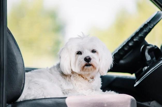 Maltês branco dentro de carro