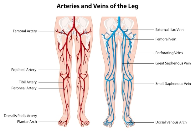 Free Vector | Arteries and veins of the leg