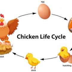Bird Life Cycle Diagram Siemens Sama Symbol Library Chicken Vector Premium Download Demo 24