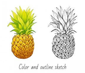 Premium Vector Color and outline sketch pineapple set
