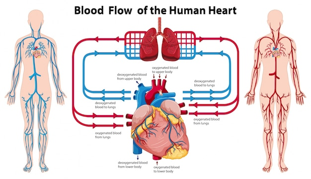 human heart and lungs diagram light schematic of running showing blood flow the vector free download