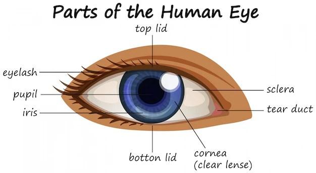 human eye parts diagram honda civic wiring harness showing of vector free download demo 24