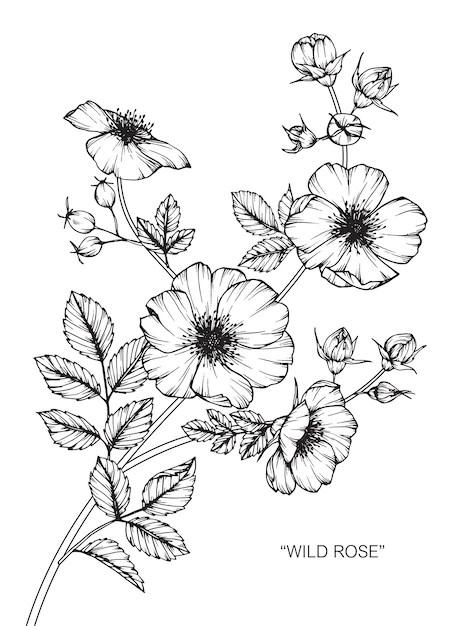 Dog rose flower drawing illustration Vector  Premium Download