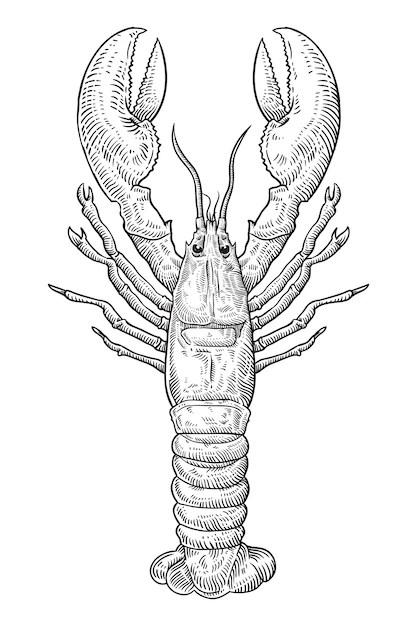 Hand drawn sketch lobster illustration Vector Premium