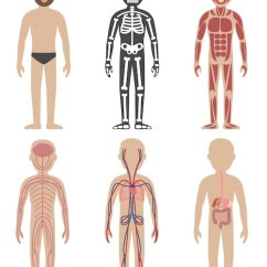 Human Skeleton Diagram Labeled For Kids 1975 Honda Ct90 Wiring Anatomy Vectors, Photos And Psd Files | Free Download