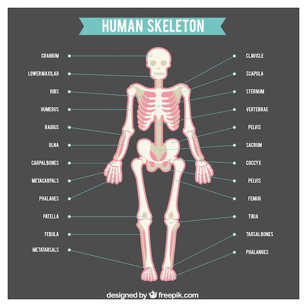 names of bones in human skeleton diagram xtrons iso wiring with body parts vector free download
