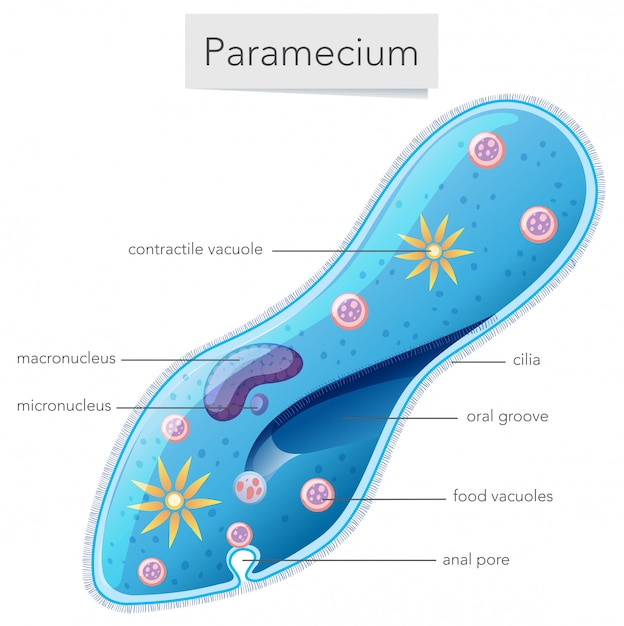 paramecium diagram blank 1998 jeep cherokee trailer wiring bacteria science vector premium download