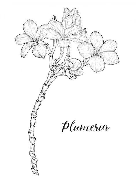 Plumeria Drawing : plumeria, drawing, Premium, Vector, Plumeria, Flowers, Drawing, Sketch, Linear
