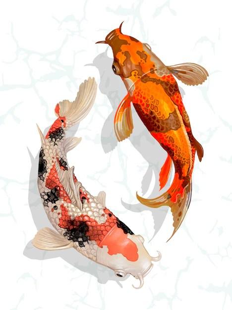 two japanese koi fish