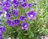 Photos Campanula aucherii - Bell flower