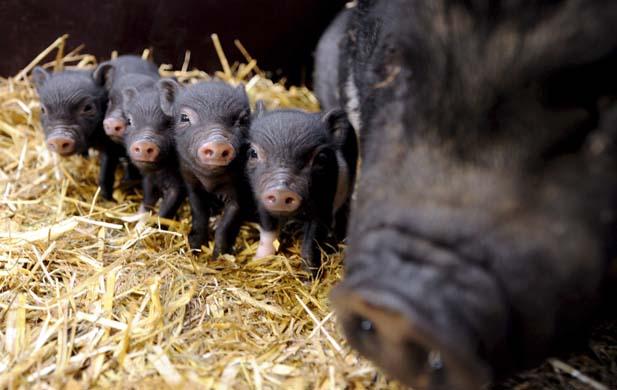 Vietnamese pot-bellied pigs