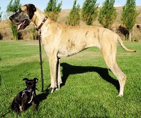 Anjing jenis Chihuahua yang mungil dan Great Dane yang raksasa. Hasil dari seleksi selektif manusia selama ribuan tahun