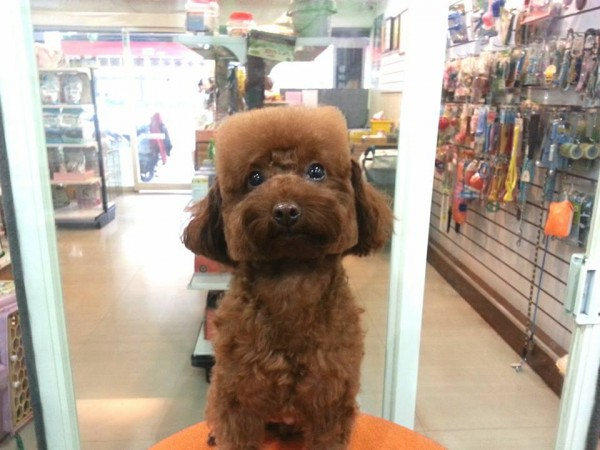 square-round-dog-haircut-taiwan-4