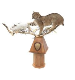 lot 61 maine bobcat hare full body trophy mount with oak [ 1000 x 1000 Pixel ]