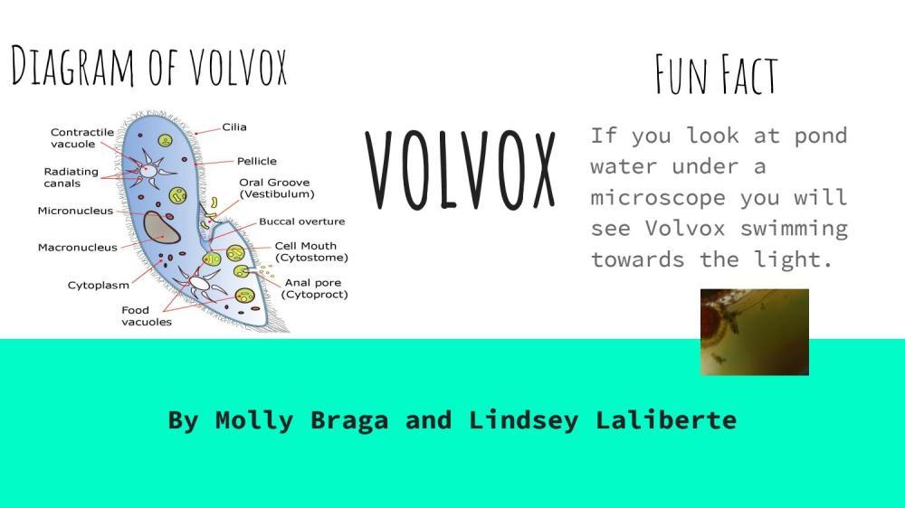 medium resolution of volvox diagram
