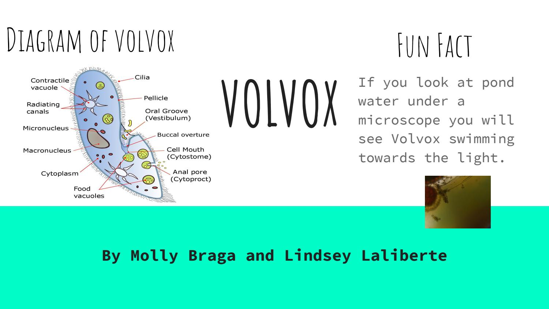 hight resolution of volvox diagram
