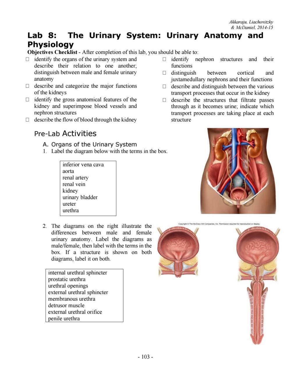 medium resolution of urethra diagram
