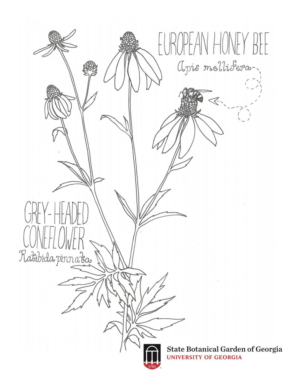 Coneflower Coloring Page by State Botanical Garden of