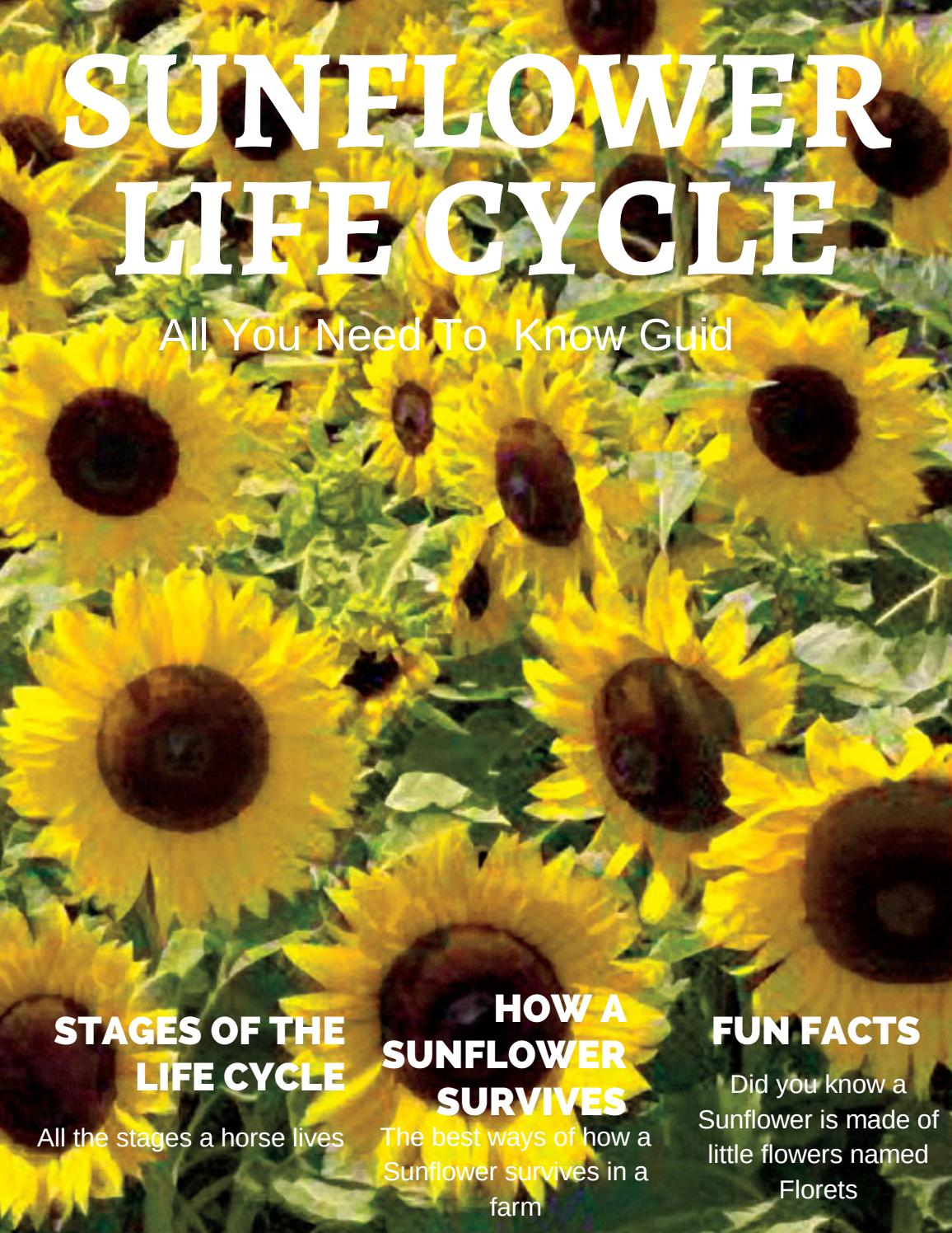 Sunflower Life Cycle By Lennie Vulkan By Shapiron Nvnet Org Issuu