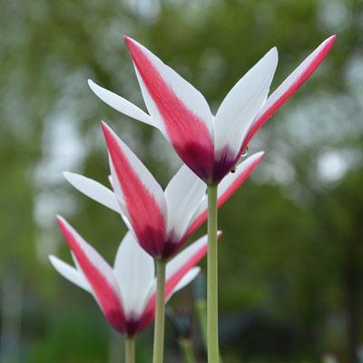 Tulpen  Tulpenzwiebeln  Blumenzwiebeln  raimund