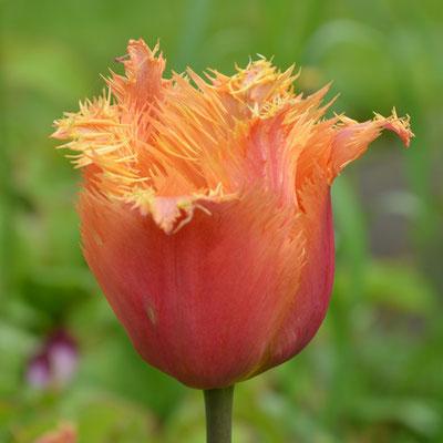 Tulpen  Tulpenzwiebeln  Blumenzwiebeln  raimund Biogartenbedarf  Biogartenversand