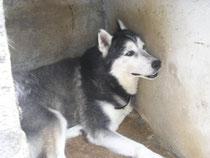 MASCHI DA ADOTTARE  Siberian Husky  Rescue Italia  siberian husky e cani adozioni parma e in