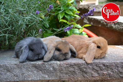 Casa Fabri Allevamento e vendita conigli ariete nano e nani colorati  CASA FABRI