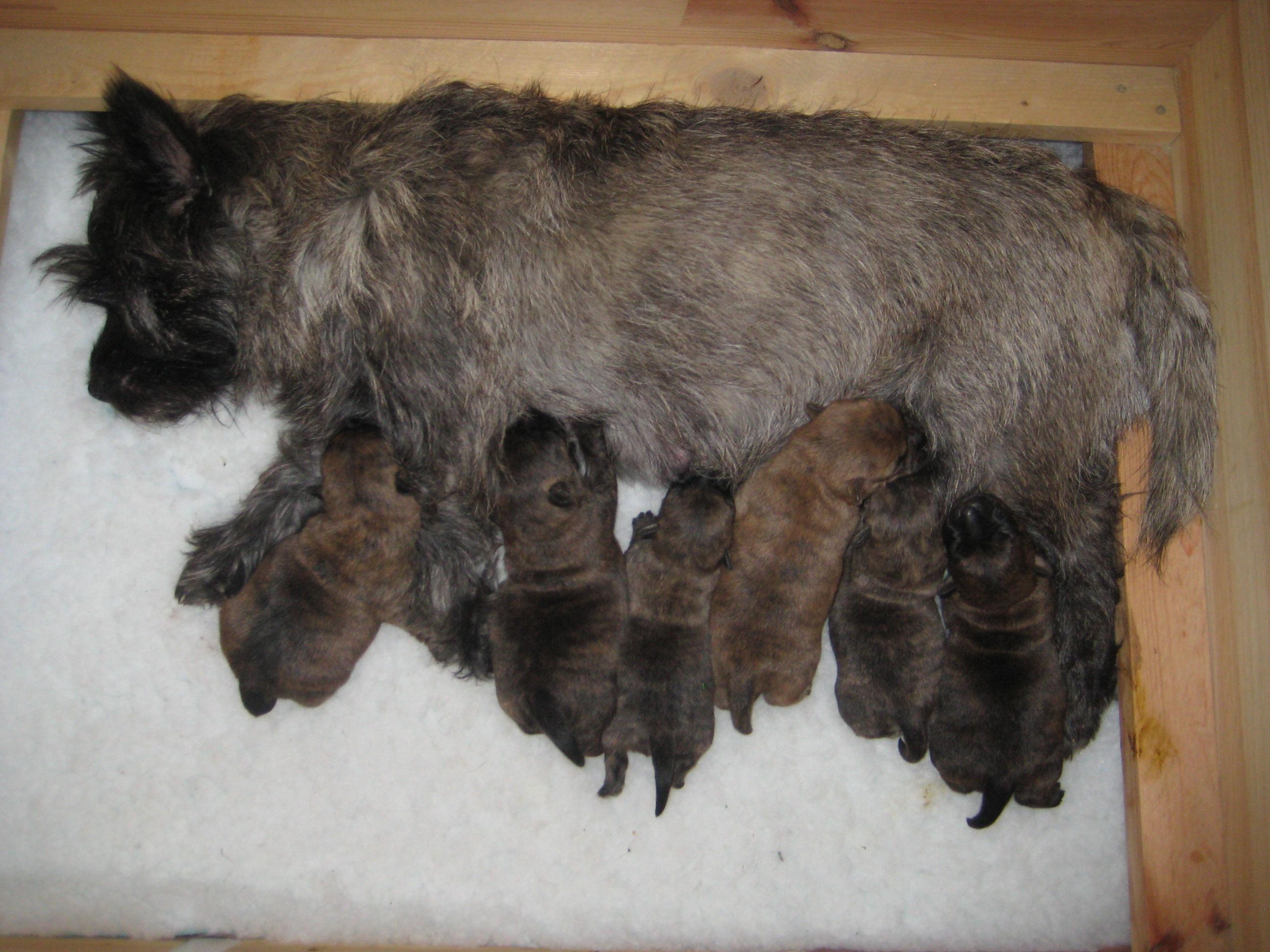 Unsere Sonntagskinder Sind Geboren - Fisternoells Cairn-Terrier