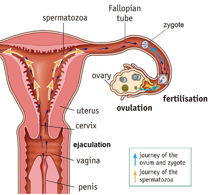 From The Vagina Spermatozoa Go Up Through The Uterus Until They Reach The Fallopian Tubes If The Meet An Ovum Here Fertilisation May Take Place